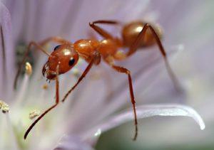حشرة الناموس