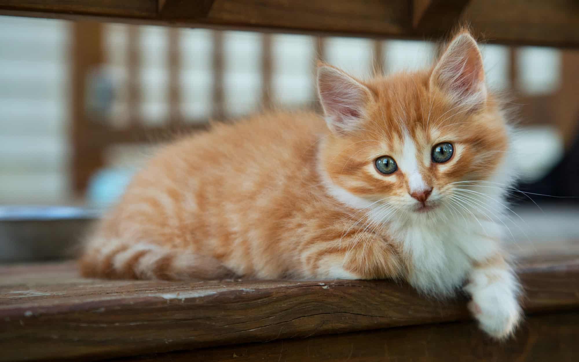 اكل قطط من طعام المنزل
