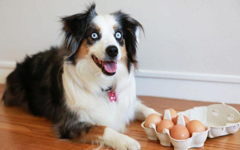 البيض المسلوق للكلاب