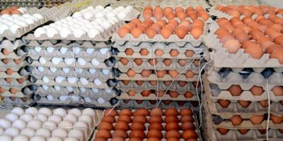 مشروع أنتاج بيض بالكويت