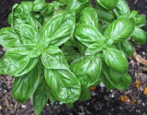نبات الريحان فوائد صحية سنتعرف عليها