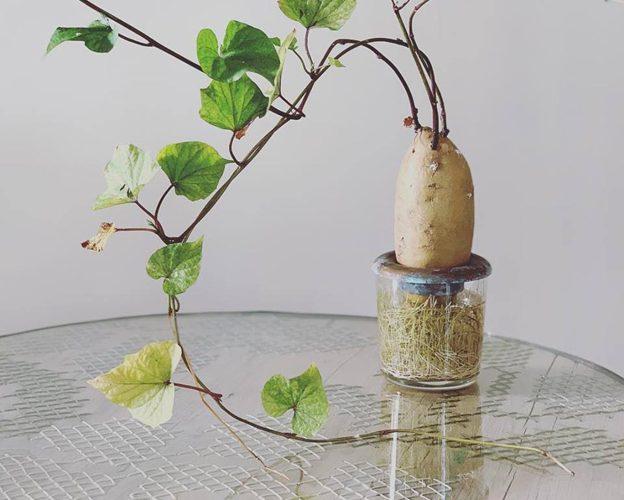 موعد زراعة البطاطس في المنزل