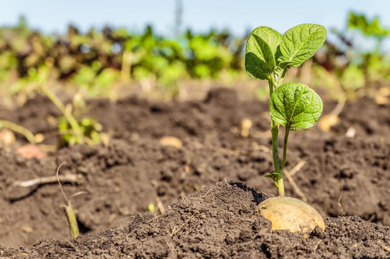 أحدث الطرق لزراعة البطاطس