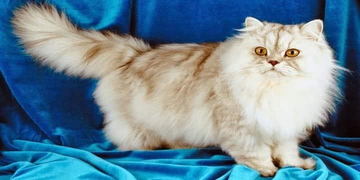 أضرار القطط الشيرازي