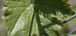 How to save grape leaves with water and salt