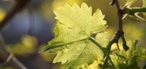 طريقة حفظ ورق العنب بالماء والملح