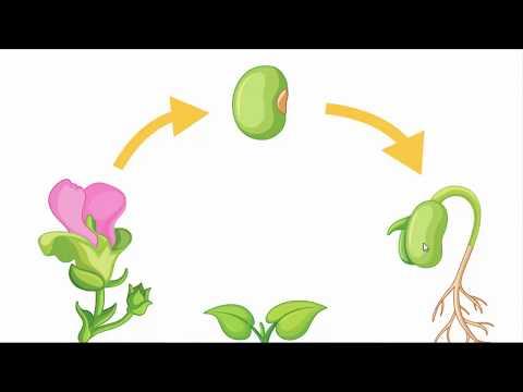 دورة حياة النباتات الزهرية