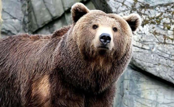تفسير حلم رؤية الدب البني في المنام