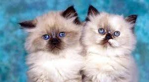 تربية القطط الشيرازى