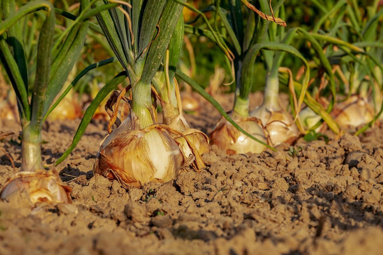 زراعة محصول البصل