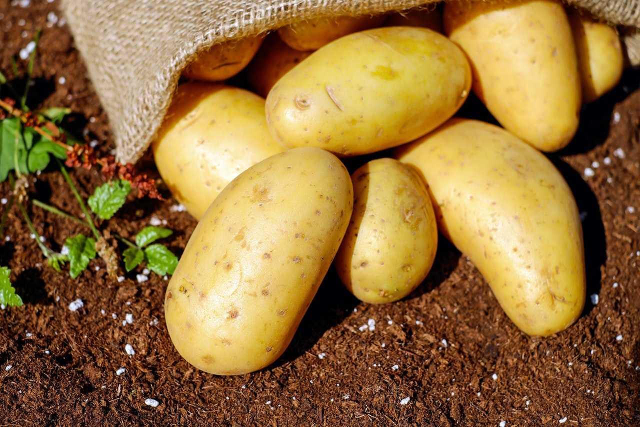 زراعة محصول البطاطس